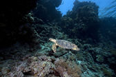 Hawksbill turtle and coral reef — Stock Photo