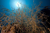 Noded horny coral and fish in the Red Sea. — Stockfoto