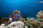 Yellowbar Angelfish in the Red Sea. — Stock Photo