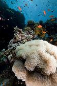 気泡サンゴと海の赤魚. — ストック写真
