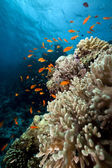 Coral and fish in the Red Sea. — Stock Photo