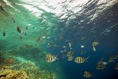 Indo-pacific sergeantfish in de rode zee. — Stockfoto