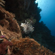 Stock Photo: Lionfish in seafan