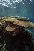 Tabel koraal en oceaan — Stockfoto