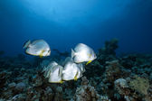 Orbicular spadefish and ocean — Stock Photo