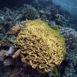 Leaf coral in the Red Sea — Stockfoto