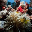 Anemonefish and anemone in the Red Sea — Stock Photo