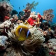 Anemonefish and anemone in the Red Sea - Stock Photo