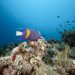 Coral and fish in the Red Sea - Stock Photo
