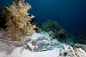 Bluespotted stingray en mer rouge — Photo