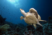 Hawksbill turtle and ocean — Stock Photo
