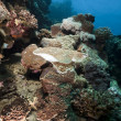 Stock Photo: Leopard torpedo ray