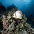 Spadefish and ocean - Stock Photo