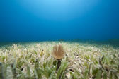 Tube anemone and sea grass — Photo