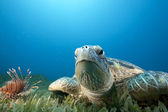 Green turtle and sea grass — Stock Photo