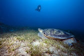 Green turtle, sea grass and diver — Stockfoto