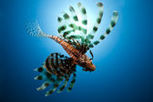 Lionfish,sun and ocean — Stock Photo