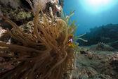 Anemone en anemonefish — Stockfoto