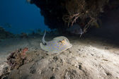 Bluespotted stingray and ocean — Stock Photo