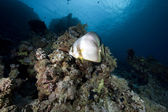 Spadefish and ocean — Stock Photo