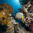 Stock Photo: Emperor angelfish and ocean
