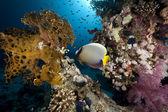 Emperor angelfish and ocean — Stock Photo