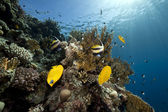 Butterflyfish, ocean and coral — Stock Photo