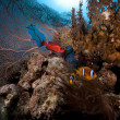 Stock Photo: Seafan, anemone and anemonefish