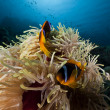 Anemonefish in the Red Sea. — Stock Photo