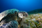 Green turtle in the Red Sea. — Stock Photo