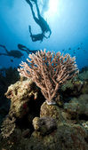 Divers and coral in the Red Sea. — Stock Photo
