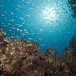 Glassfish, coral and ocean — Stock Photo