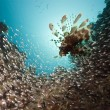 Glassfish hunted by lionfish - Stock Photo