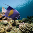 Yellowbar angelfish and ocean — Stock Photo #10857587