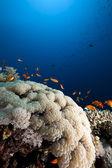 Bubble koraal, vis en oceaan — Stockfoto