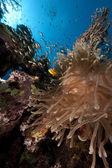 Anemone en oceaan — Stockfoto