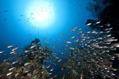 Ocean, coral and golden sweepers — Stock Photo