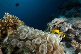 Corail, océan et anémone bulle — Photo