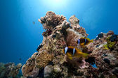 Anemone, ocean and coral — Stock Photo