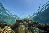 Giant moray and ocean — Stock Photo