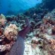 Giant moray and tropical reef in the Red Sea. — Stock Photo