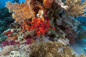 Red sponge and tropical reef in the Red Sea. — Stockfoto