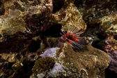 Lionfish and tropical reef in the Red Sea. — Stock Photo