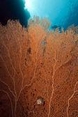 Wentylator koralowych w morzu czerwonym. — Zdjęcie stockowe