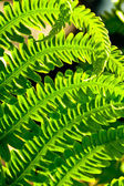 Fern Leaves in the Sun — Stock Photo
