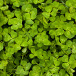Happy Clover Patch — Stock Photo