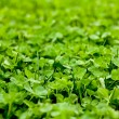 Vibrant Clover Patch — Stock fotografie