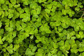 Happy Clover Patch — Foto Stock