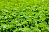 Vibrant Clover Patch — Stock Photo