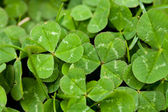 Close Up Clover — Stock Photo